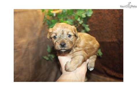 teacup yorkies for sale in jacksonville fl yorkie poo puppies jacksonville florida breeds picture