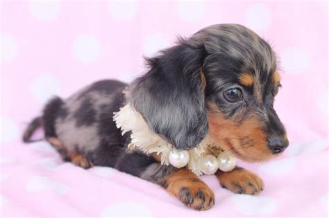 Teacup Dachshunds For Sale 1 High Resolution Wallpaper ...