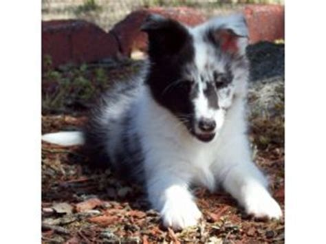 sheltie puppies for sale in florida shetland sheepdog puppies for sale