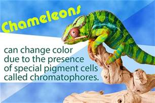 why do chameleons change color how and why do chameleons change color the mystery