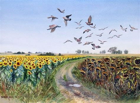 rock pigeons over the sunflower fields of the freestate