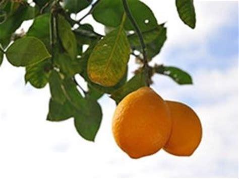 concimazione agrumi in vaso concime per limoni nel frutteto concime per limoni