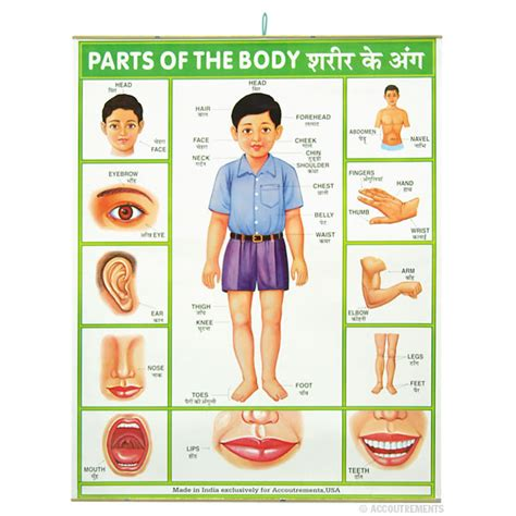 sections of the body parts of the body poster accoutrements archie mcphee