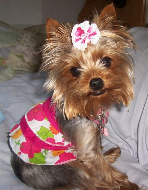 teacup yorkie bows 17 best images about yorkie レ o 乇 on carrier puppy clothes