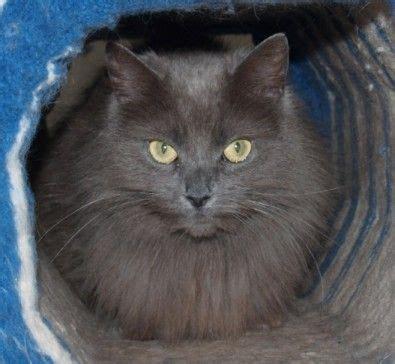 17 Best images about G R E Y C A T on Pinterest   Cats