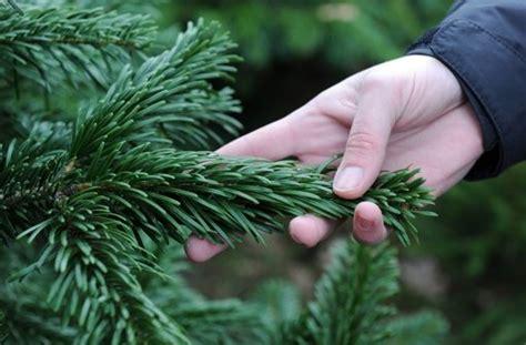 tipps zum christbaumkauf gift und zecken im