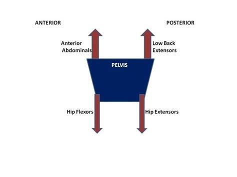 correct anterior pelvic tilt quora