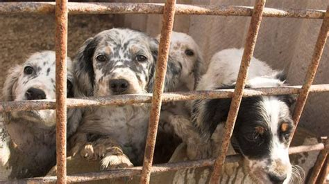 puppy farms study reveals dogs bred on puppy farms more aggressive
