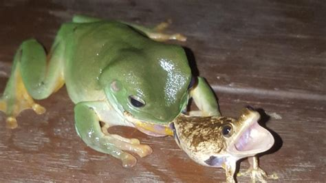 what do backyard frogs eat herbert woman snaps picture of green tree frog eating