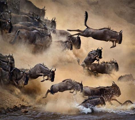Boneka Bantal Running Serengeti Animal Kingdom 17 best images about serengeti wildebeest migration safaris on wildlife photography