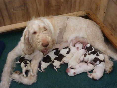 puppy in italian italian spinone puppies royston hertfordshire pets4homes