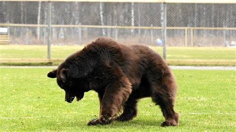 when is a puppy not a puppy this is a newfoundland not a pics