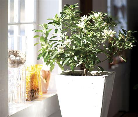 fragrant indoor plants fragrant houseplants in the garden