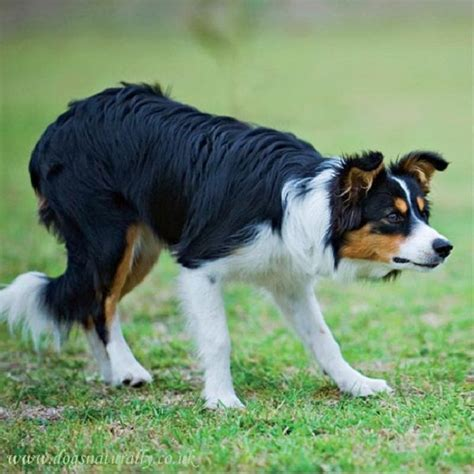 tri colored border collie 25 best ideas about border collies on border