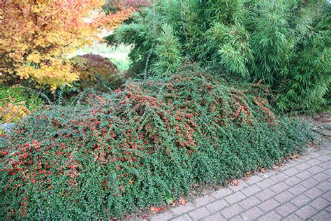 Small Flowering Shrub - buy coral beauty cotoneaster cotoneaster 215 suecicus coral beauty delivery by crocus