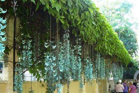 Tanaman Jade Vine 箘lgi 231 ekici ve farkl箟 g 246 r 252 nen bitkiler agaclar net