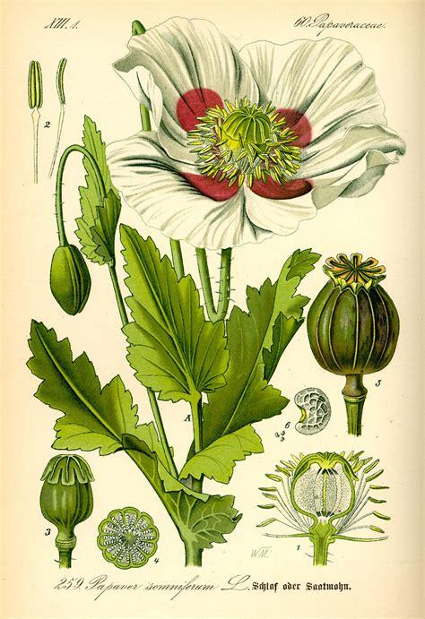 Botanic Botanical Opium Poppy Botanical Drawings Papaver Somniferum
