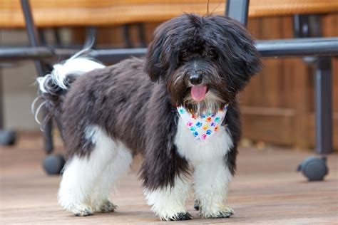 havanese puppy haircuts haircuts for dogs breeds hairstylegalleries