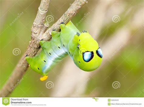 Caterpillar Predator caterpillar stock photo image 52034943