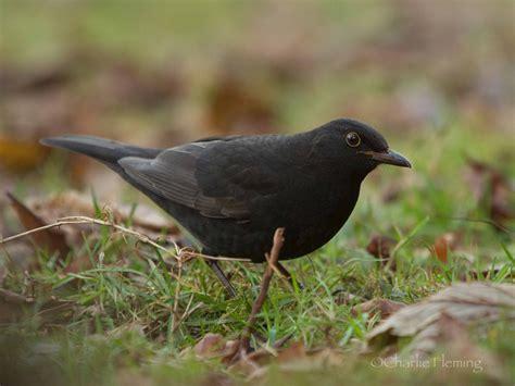 Devon Bird Sightings Devon Birds Black Bird