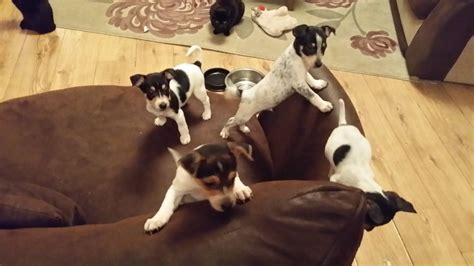 legged puppies for sale leg puppies for sale lincoln lincolnshire pets4homes