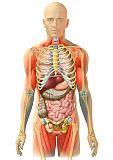 anatomie innere organe medidesign frank geisler bauch organe