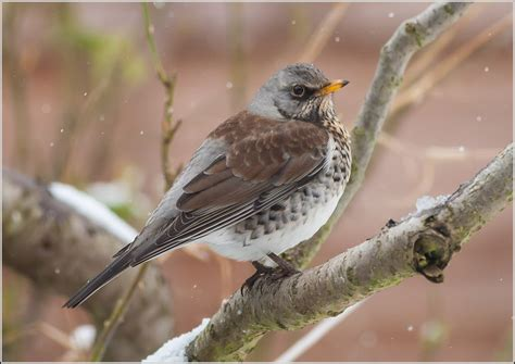 ireland s wildlife fieldfare turdus pilaris ireland s