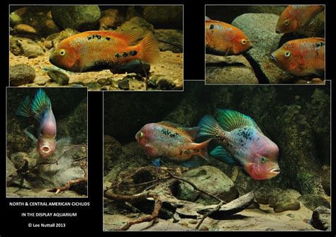 American Aquascapes by And Central American Cichlids In The Display