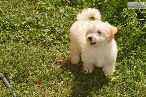 pomapoo puppies for sale near me poma poo pomapoo puppy for sale near san diego california 9d14fce8 fa91