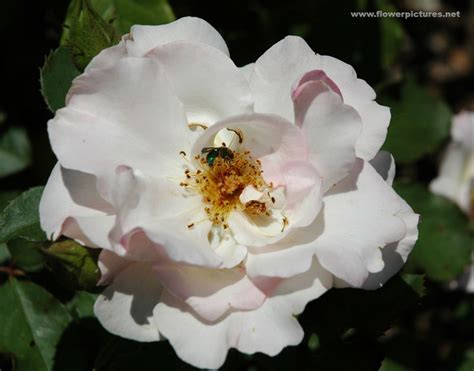 Pictures Of Gardens And Flowers by Pictures Of Rose Flowers Shrub Rose Lady Of The Dawn