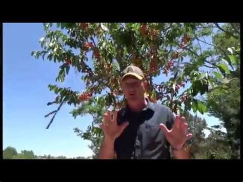 keep birds out of fruit trees how to keep birds your fruit trees