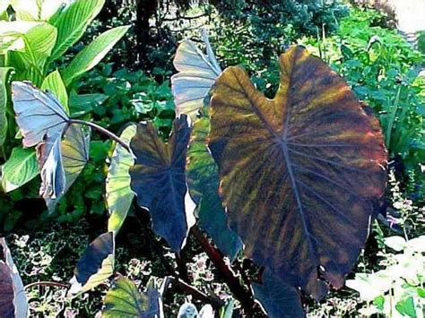 taro leaves plant care take your garden to the tropics with colocasia esculenta seattlepi