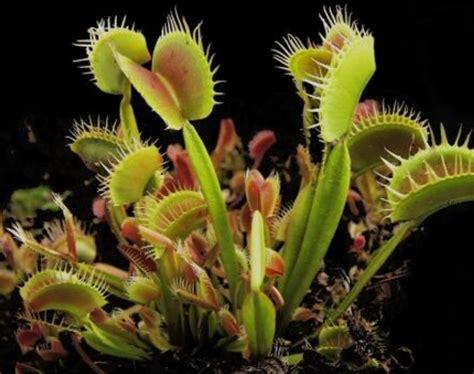 Jual Bibit Tanaman Venus Flytrap jual venus flytrap ukuran sedang