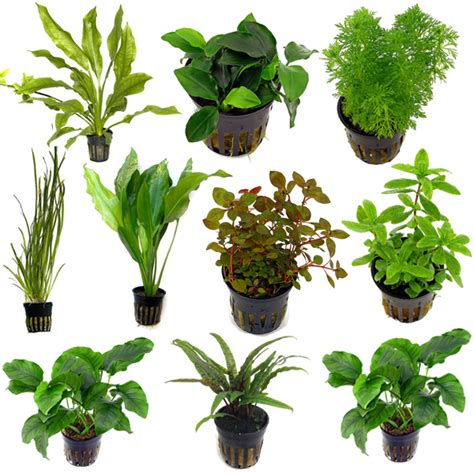 tropical water plants live tropical aquarium fish tank aquatic plants for sale