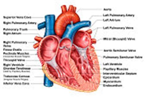 frontal section of the heart anatomy of heart interior frontal section stock