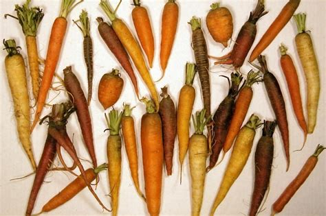 orange root vegetable carrot cultivation in depth guide to growing carrots