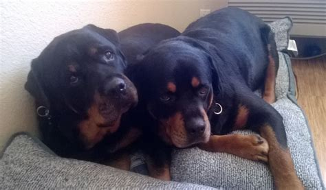 dead rottweiler heartbreaking shows rottweiler brutus for dead hank information