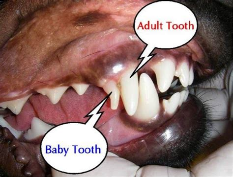 puppy losing teeth symptoms 25 best ideas about teething symptoms on teething symptoms in babies