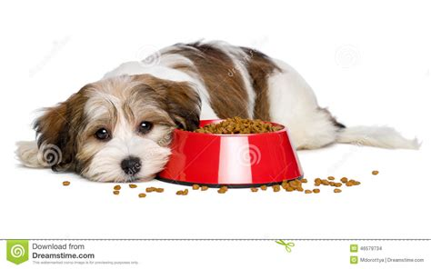 havanese food havanese puppy is lying beside a bowl of food stock photo image