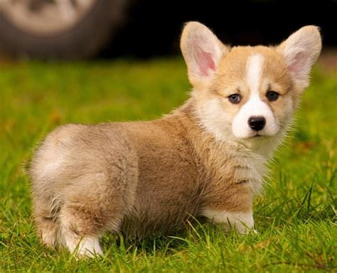 how much do corgi puppies cost corgi puppy on the grass jpg