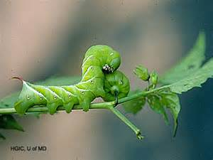giant green tomato worms where do they come from how good can you stand it