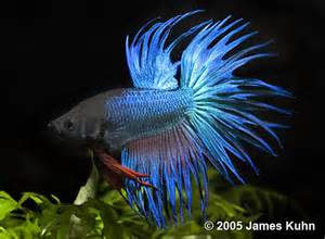 blue crowntail betta fish www pixshark com images
