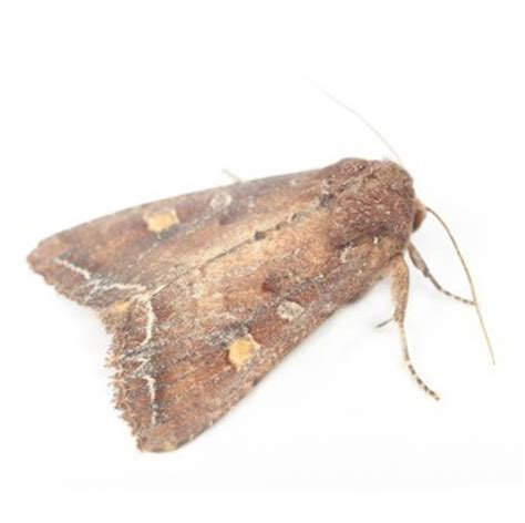 What Attracts Pantry Moths by Getting Rid Of A Moth Infestation Thriftyfun