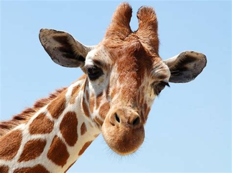 google images giraffe giraffe face google search dcc kid s c 15