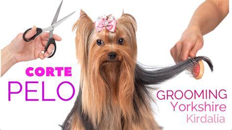 corte pelo yorkshire terrier corte de pelo yorkshire terrier youtube
