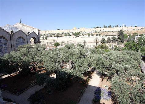 jerusalems olive trees  biblical era oldest  earth
