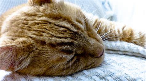Sleeping Orange Cat sleeping orange tabby cat free stock photo domain