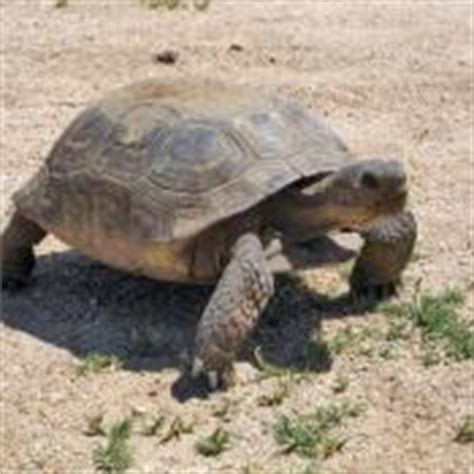 how should a tortoise heat l be on california state reptile desert tortoise