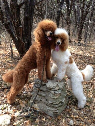 multi poodle lifespan 1000 images about anything oodle on poodle
