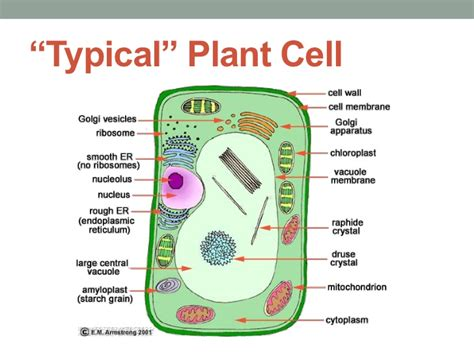 plant cell diagram and functions biology cell structure and function